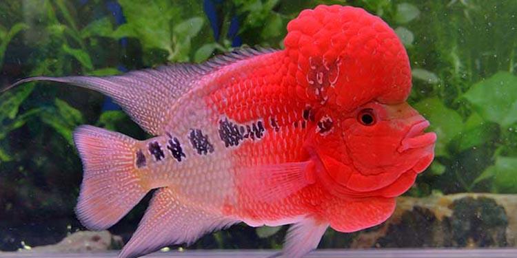 5 Rahasia Makanan Ikan Louhan Biar Cepat Jenong Dan Merah Pintarpet