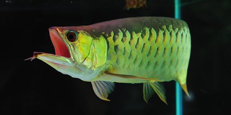 Jenis Makanan Ikan Arwana Terbaik Tips Memberi Pakannya Pintarpet