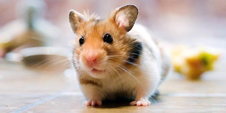 Fakta Menarik Tentang Hamster Yang Lucu