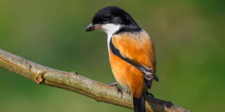 9 Cara Merawat Burung Cendet Agar Bisa Bunyi Gacor Pintarpet