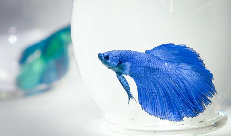 Ini 5 Cara Mudah Memelihara Ikan Cupang Agar Cantik untuk Pemula