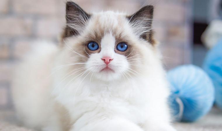 Awet nih! Ini 5 Jenis Ras Kucing yang Umurnya Panjang Sampai 20 Tahun!