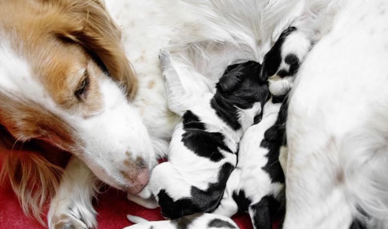 Kumpulan Cara Merawat Anjing Hamil Hingga Melahirkan Agar Anaknya Sehat Terawat