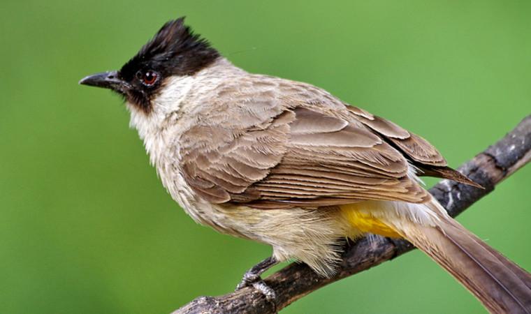 Mudah Banget! Begini Cara Merawat Burung Kutilang Agar Gacor dan Ngekek Panjang