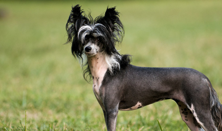 Aww! Ini 7 Jenis Anjing Terjelek di Dunia yang Pernah Ada, Mau Pelihara?