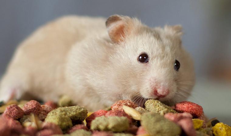 Rahasia Makanan Hamster yang Baik dan Bernutrisi, Gak Kalah dari Pabrikan!
