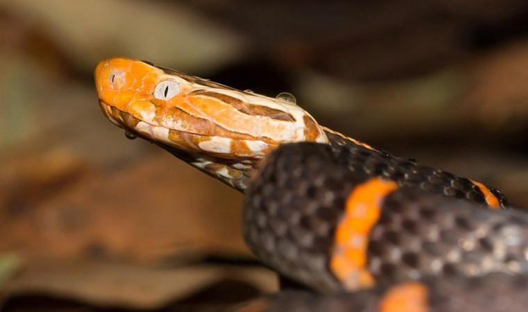 Berbahaya! Ini Jenis Ular Viper yang Paling Mematikan di Dunia