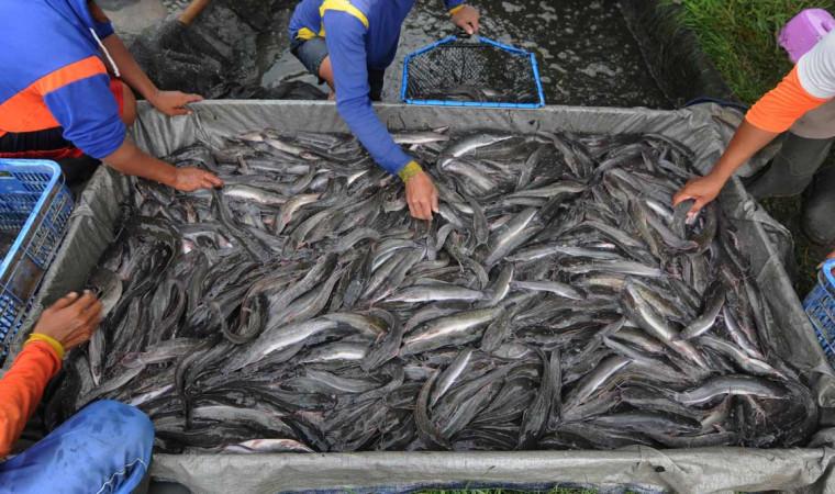 Modal Cuma 2 Juta, Ini Cara Budidaya Ikan Lele untuk Pemula!