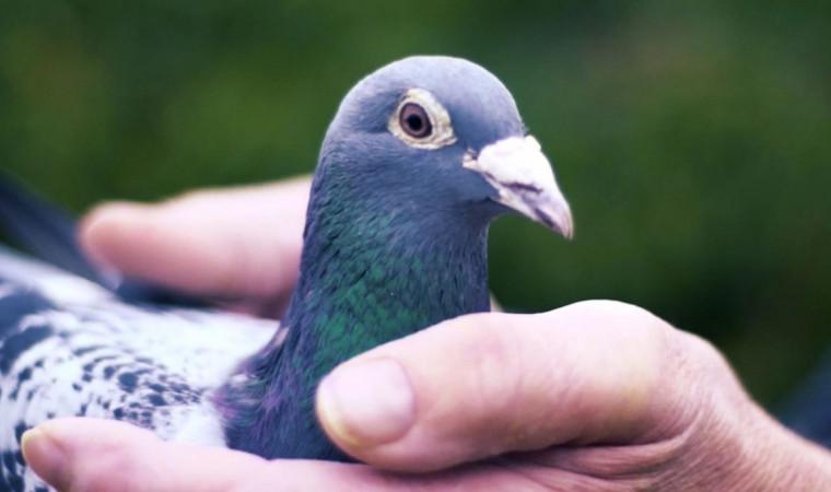 Inilah Manfaat Burung Dara atau Merpati, Bukan Hanya untuk Adu Balap Saja!