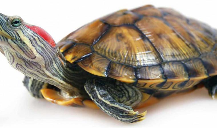 10 Cara Merawat Kura-kura Brazil: Aman, Mudah, dan Umur Panjang