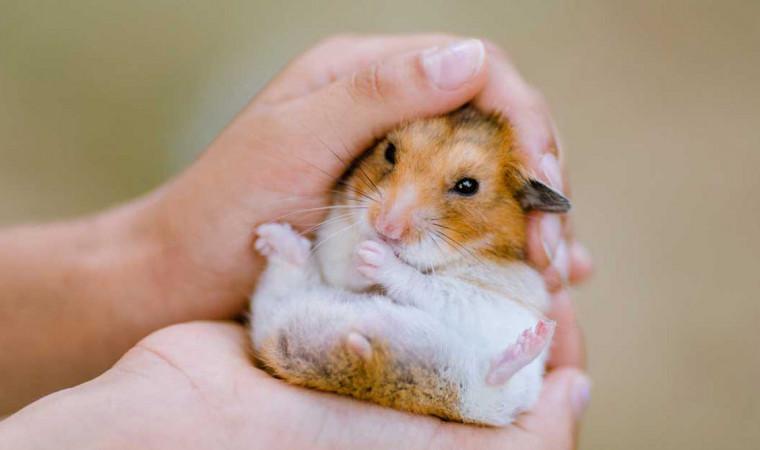 Dijamin Jinak! 7 Jenis Hamster ini Cocok untuk Dipelihara Buat Pemula