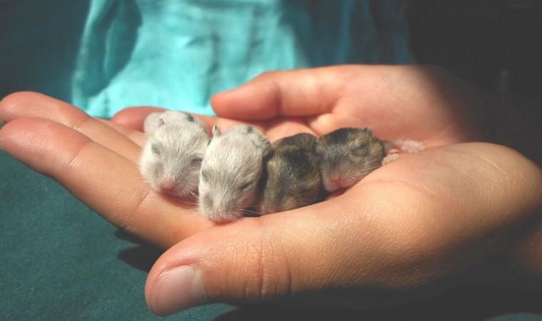 8 Cara Merawat Bayi Hamster, Mulai Masa Kehamilan Hingga Tumbuh Dewasa