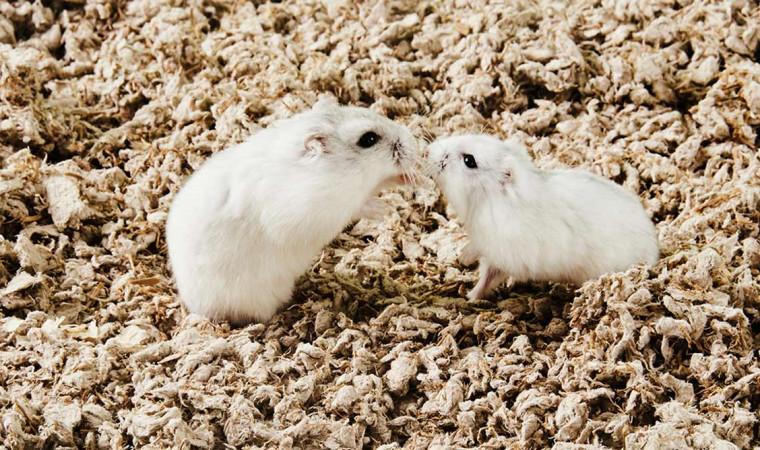 6 Cara Mengawinkan Hamster yang Benar untuk Pemula