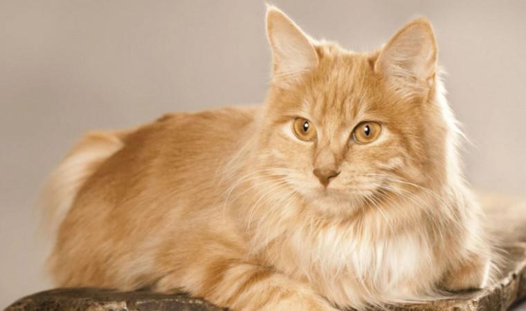 Lucu Banget! Ini 6 Jenis Ras Kucing yang bisa Dipeluk dan Penyayang untuk Pemiliknya