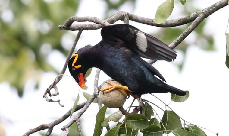 Ini Dia 8 Makanan Burung Beo Biar Cepat Bicara, Mudah Ditemukan!