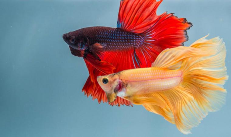 Mau Ternak? Kenali Ciri-Ciri Ikan Cupang Sudah Bertelur yang Perlu Diperhatikan