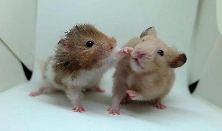 Bisa Tertukar, Ini 4 Perbedaan Hamster dan Tikus yang Mudah Dikenali