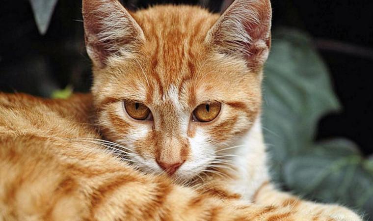 Beda dengan Betina, Ini Ciri-ciri Kucing Jantan Ingin Kawin