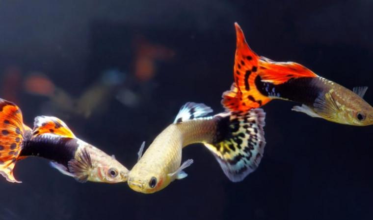 5 Cara Merawat Ikan Guppy Agar Tidak Cepat Mati Di Akuarium Pintarpet
