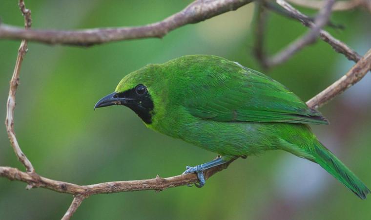 5 Variasi Makanan Burung Cucak Ijo Agar Tubuh Sehat dan Suara Gacor Maksimal
