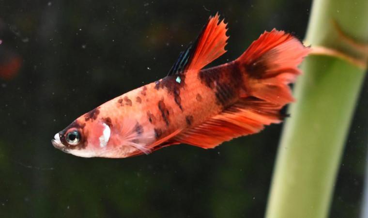 Mengenal Ciri-Ciri Ikan Cupang Betina dari Penampilan Fisik dan Tingkah Lakunya