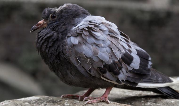Cara Mengobati Burung Merpati Sakit Pada 5 Penyakit yang Umum Menyerangnya