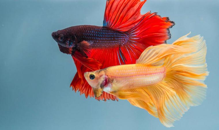 15 Jenis Ikan Cupang Hias Kontes yang Cantik dan Elegan, Cocok Dipelihara di Rumah