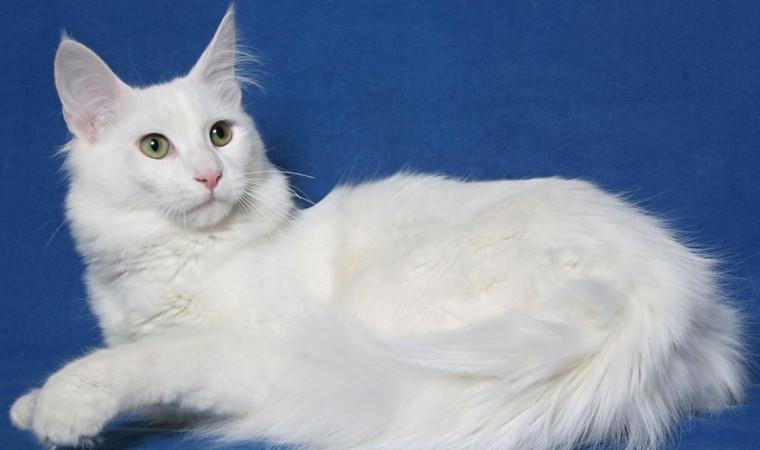 Cara Merawat Kucing Anggora Paling Tepat Agar Sehat dan Panjang Umur