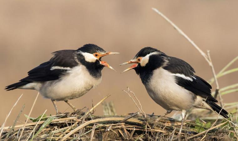 5 Makanan Burung Jalak Suren Terbaik, Langsung Gacor!