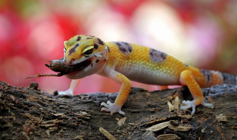 Ini Makanan Gecko Terbaik Beserta Cara Memberikannya Agar Cepat Besar!