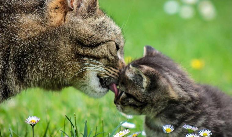 Kenapa Kucing Makan Anaknya? Ternyata Ini Alasannya yang Bikin Kaget!