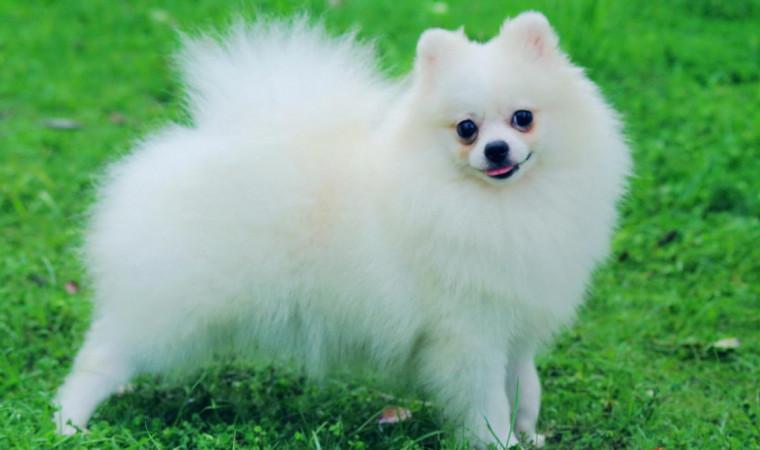 Apa Perbedaan Pomeranian dan Mini Pom? Jawabannya Bikin Kaget!