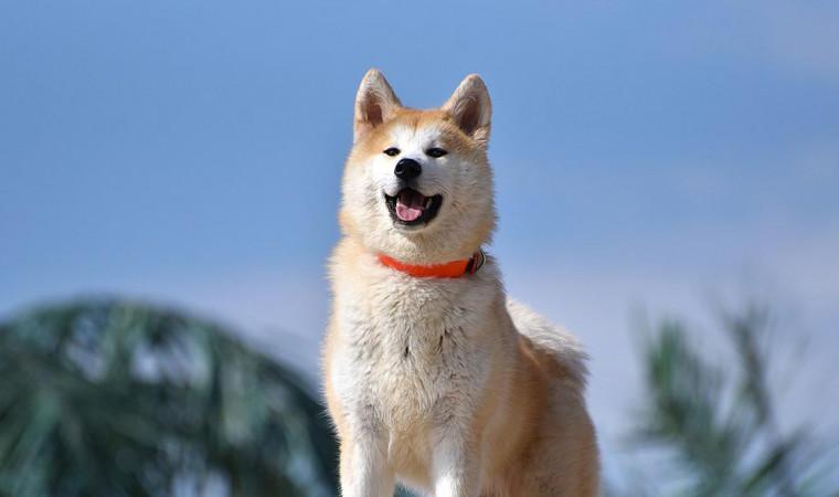Profil Anjing Akita Inu, Ras Anjing Hachiko yang Setia Banget!