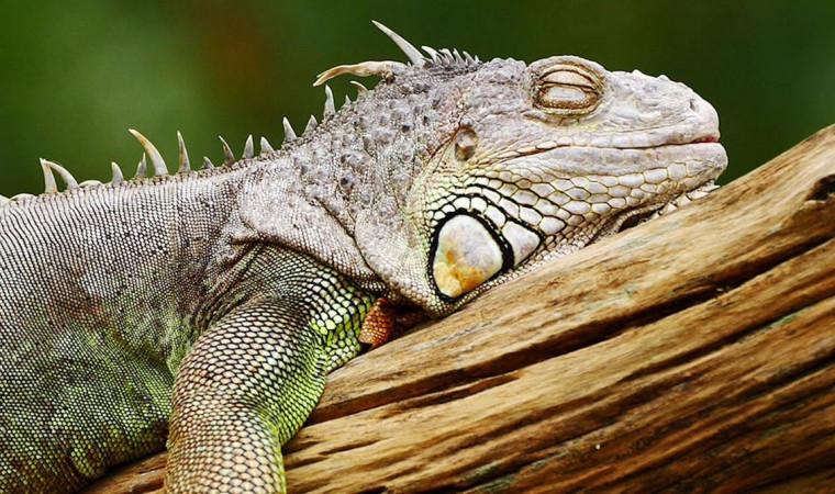 Ternyata Ini Cara Meningkatkan Nafsu Makan Iguana Biar Cepat Gemuk!