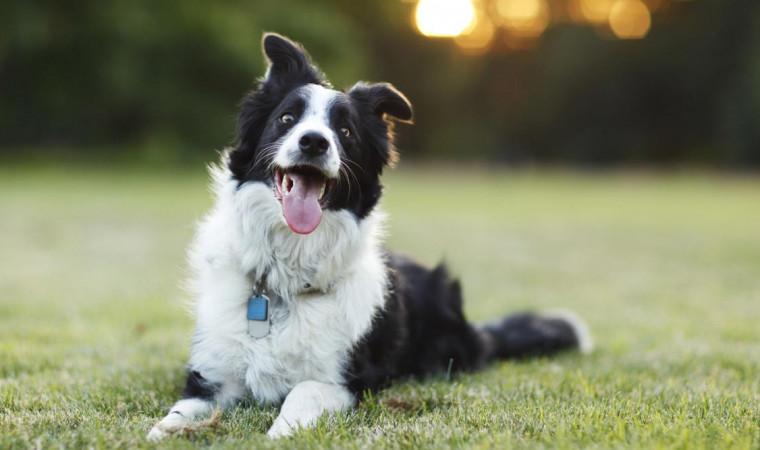 Mau Pelihara Anjing? Ini 12 Ras Anjing Pintar yang Wajib Kamu Pilih!