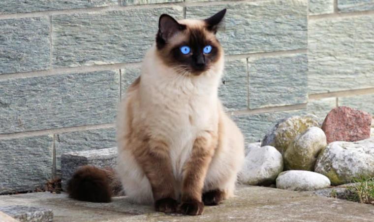 6 Kucing Paling Pintar di Dunia yang Bisa Kamu Pelihara!