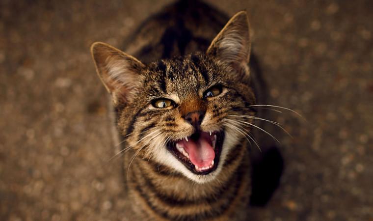 Kenapa Kucing Mengeong Terus? Ini Penjelasan dan Cara Mengatasinya!