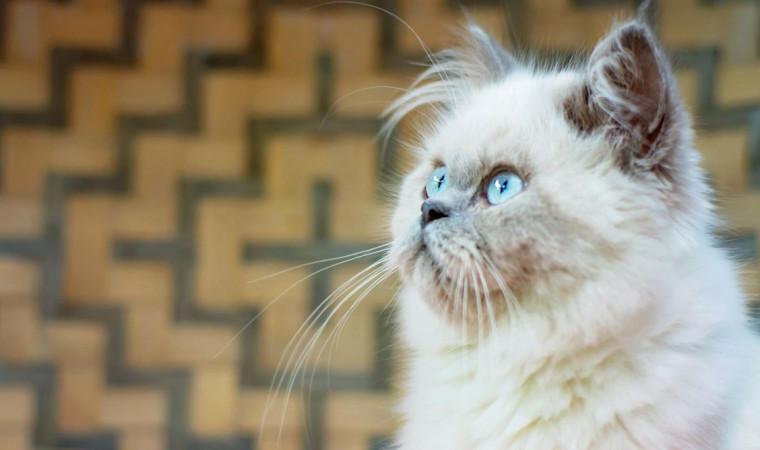 Mengenal Kucing Himalaya, Dari Ciri-Ciri, Jenis, Sejarah, & Fakta Uniknya
