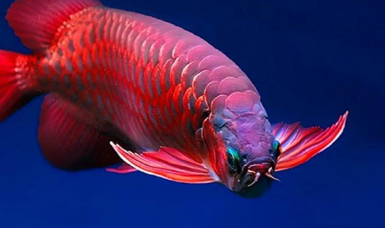 Mau Arwana Lebih Cepat Besar? Ini Daftar Makanan Ikan Arwana yang Paling Disukai