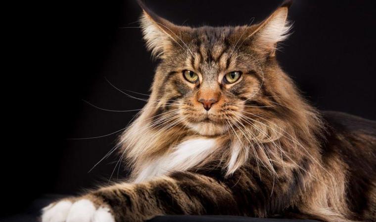 10 Ras Kucing Terbesar di Dunia, Enak Banget Buat Dipeluk!