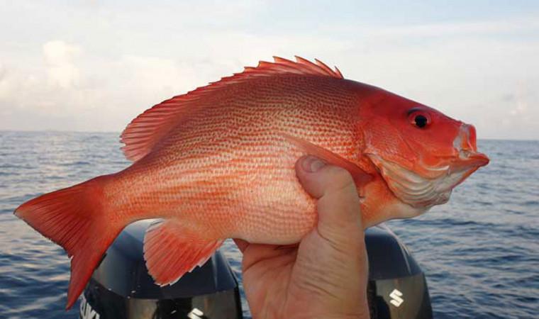 Mengenal 5 Jenis Ikan Kakap yang Sering Ditemukan di Perairan Indonesia