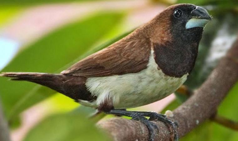 3 Jenis Makanan Burung Emprit yang Wajib Diberikan Agar Bunyinya Gacor