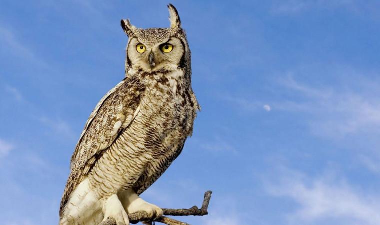 8 Ciri Ciri Burung Hantu dan Cara Merawatnya dengan Mudah