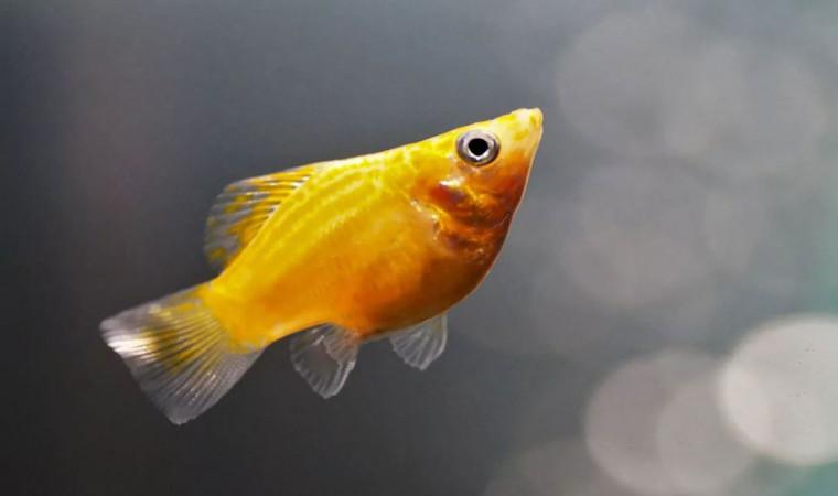 Rekomendasi 10 Jenis Ikan Molly yang Sedang Populer, Cocok untuk Aquascape-mu!