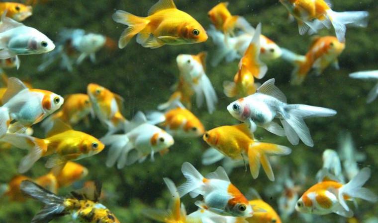Panduan Cara Budidaya Ikan Hias Bagi Pemula, Dijamin Berhasil!