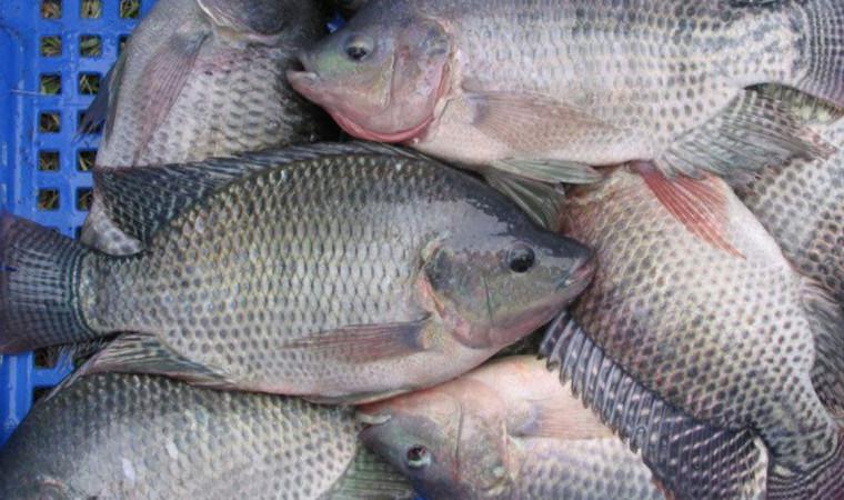 Ini Dia 13 Ciri Ciri Ikan Nila yang Perlu Diketahui Para Mancing Mania!