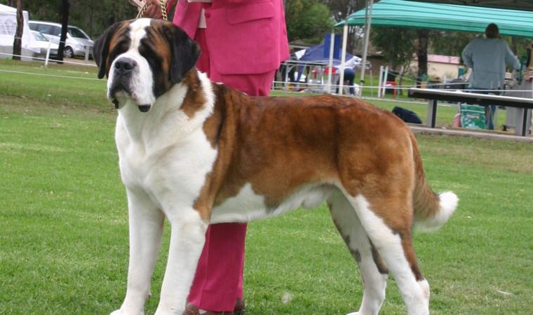 Ini Dia Jenis Anjing Besar yang Sering Dipelihara Oleh Manusia