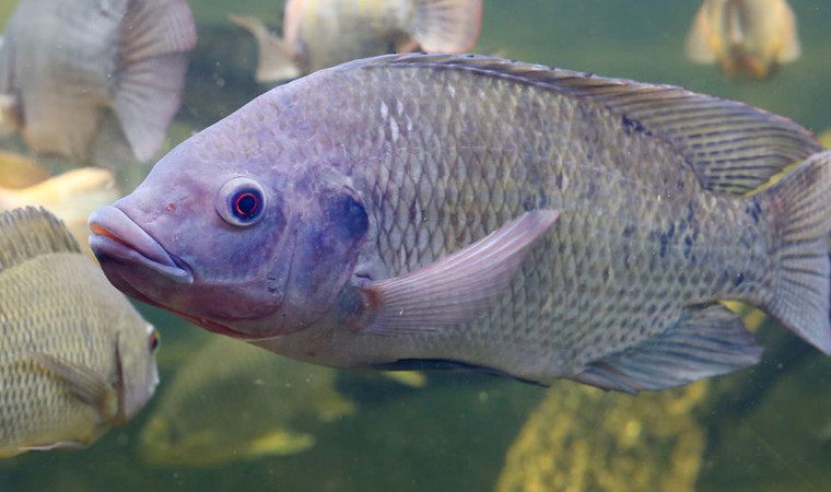 Ini 7 Jenis Makanan Ikan Nila Terbaik yang Bisa Bikin Cepat Besar