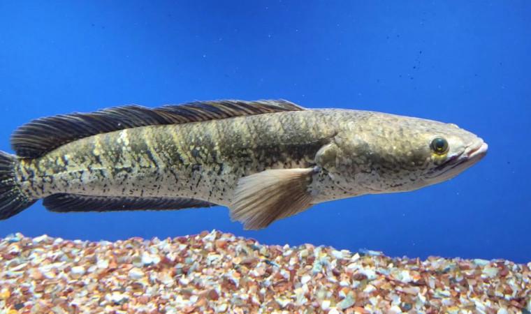 Kenali 8 Makanan Ikan Gabus yang Bikin Cepat Besar dan Cepat Panen