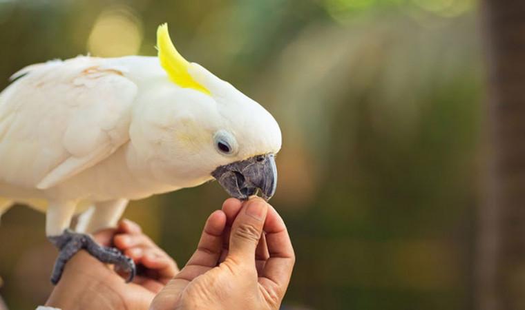 Jenis Makanan Untuk Burung Kakatua Agar Sehat dan Bugar